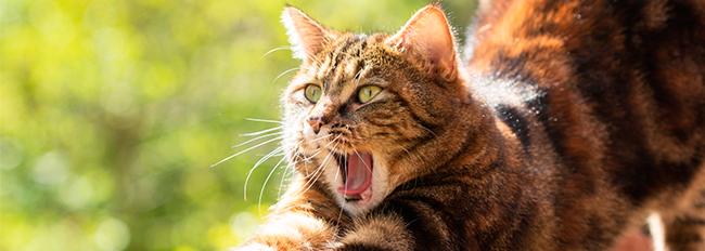Banner Los sonidos de los gatos que debes saber identificar